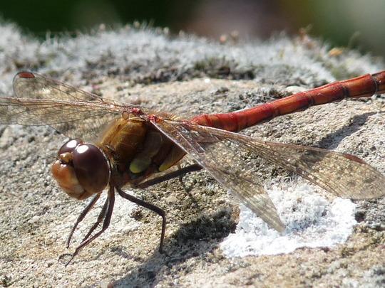 Beautiful Dragonfly..........Ruddy Darter (Sympetrium sanguinium)