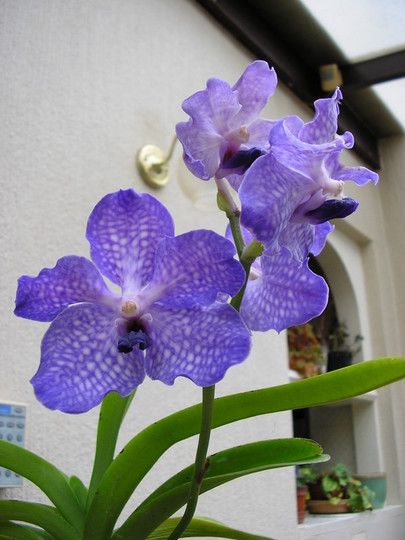 VANDA Blue Magic