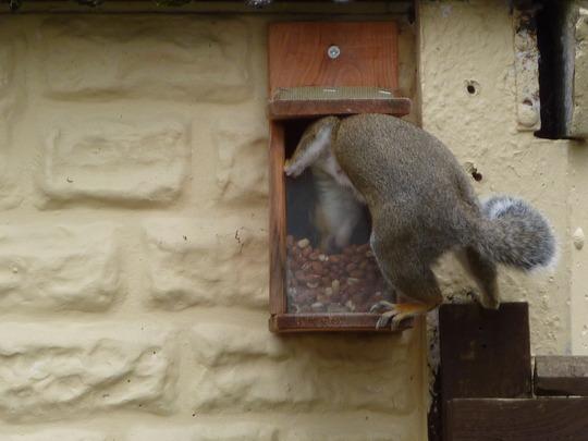 Squirrel in the squirrel feeder...