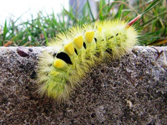 Caterpiller of the Pale Tussock Moth.