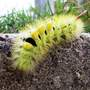 Pale_tussock_caterpillar_2