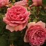 A rose I fancied at Chelsea Flower Show.