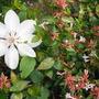 Beautiful white clematis.