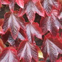 Parthenocissus tricuspidata close-up. (Parthenocicissus tricuspidata)