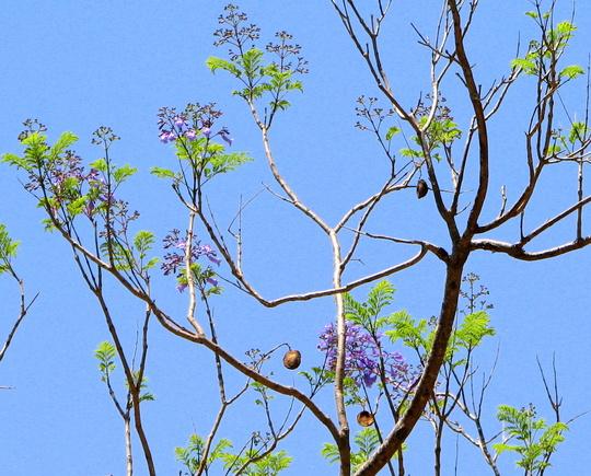 Springtime in northern Oz - Jacaranda mimosifolia beginning to bloom (Jacaranda mimosifolia (Brazil Rosewood))