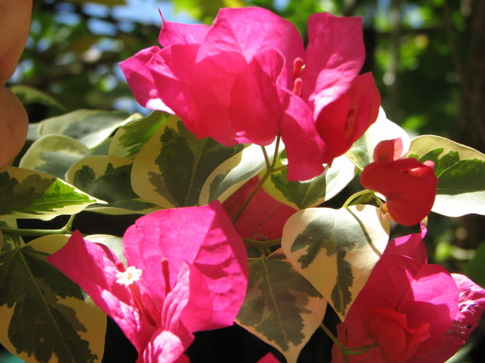 Springtime in northern Oz - variegated Bougainvillea showing bracts and flowers again (Bougainvillea)