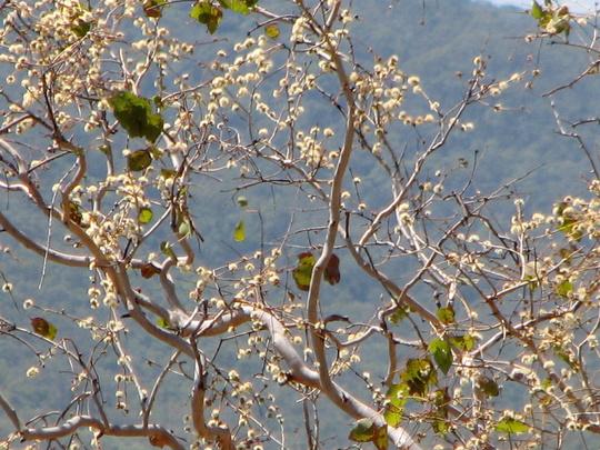 Springtime in northern Oz - gums in flower