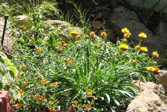 Springtime in northern Oz - Bracteantha bracteata and Calibracoha