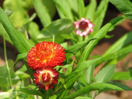 Bracteantha bracteata also known as Helichrysum (Bracteantha bracteata, Helichrysum bracteatum)