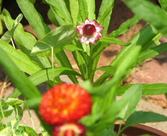 Bracteantha bracteata (Strawflower or Paper Daisy)  (Bracteantha bracteata, Helichrysum bracteatum)