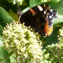Ivy in flower with butterfly (Hedera helix (English ivy))