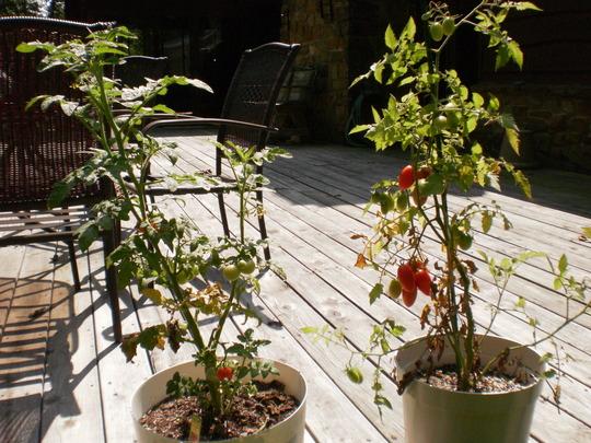 my little tomoato plants