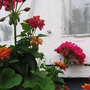 windowbox blooms