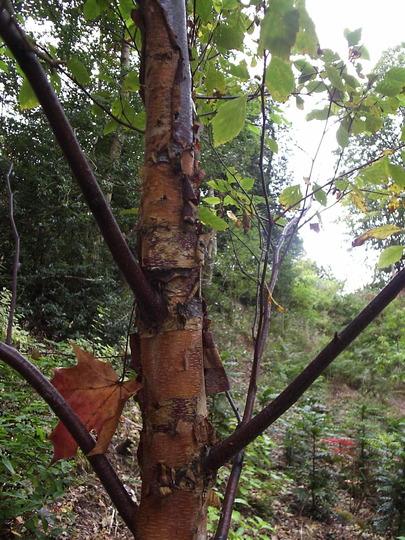 Betula nigra (Betula nigra (Black Birch))