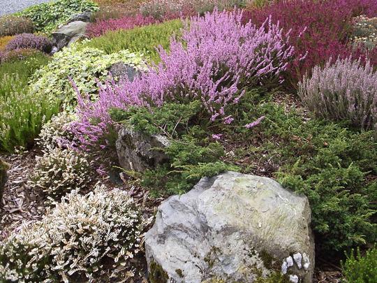 Heather bed, Atholl Palace Hotel, Pitlochry, Perthshire. (Calluna vulgaris (Heather))