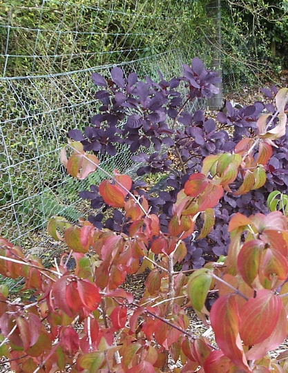 Cercis and Cotinus (Atholl Palace Hotel Gardens)