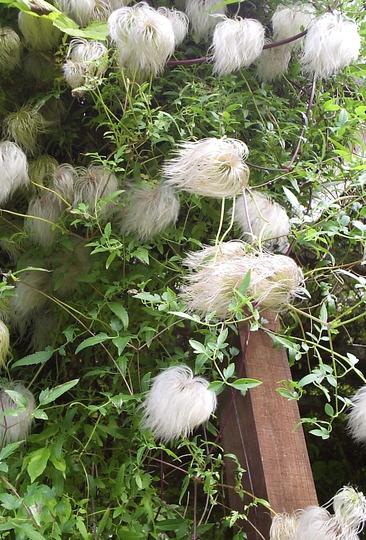 Clematis (var, unknown) Seedheads.