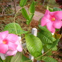 Mandevilla &#x27;Alice Du Pont&#x27;  (Mandevilla &#x27;Alice Du Pont&#x27;)