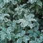 Pittosporum Tenuifolium (Pittosporum tenuifolium (New Zealand Pittosporum))