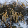 Raindrops on Stipa......... (Stipa gigantea (Giant feather grass))