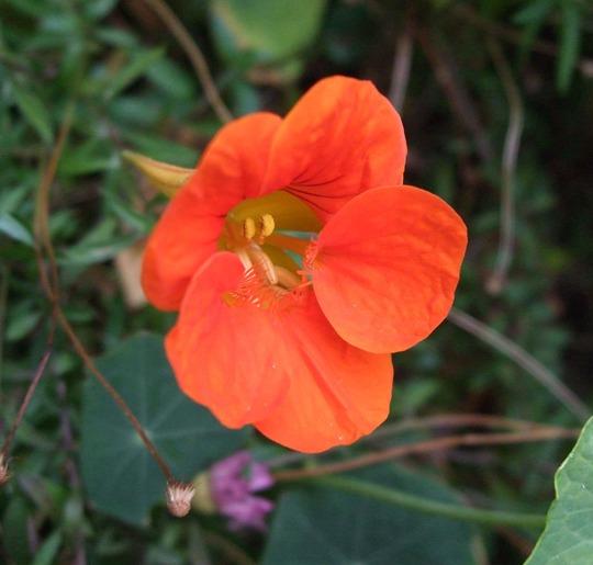 Nasturtium (Nasturtium)