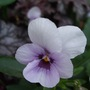Pale Pansy