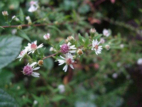 Aster laterifolius 'Lady in Black' (Aster lateriflorus (Lady in Black))