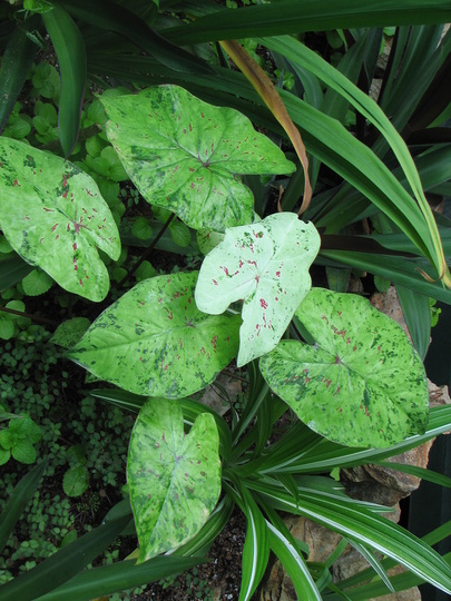 That caladium again - as it matures even more (Caladium)
