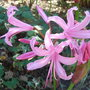 Nerine bowdenii &#x27;Fenwick&#x27;s Variety&#x27;