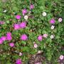 Pink_white_sanguineum