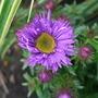 Aster_novae_angliae_purple_dome_