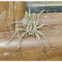 Diadem (Garden) Spider