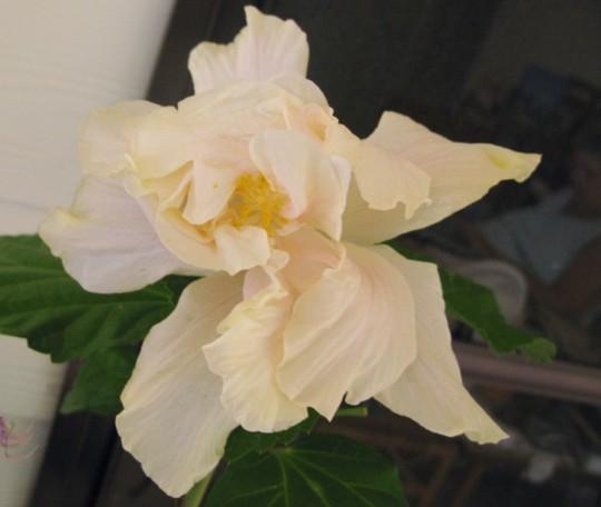 Tropical Hibiscus 'White Kalakaua' (Hibiscus rosa-sinensis) (Hibiscus rosa-sinensis (Chinese Hibiscus))