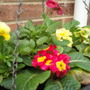 primula in basket Oct 09