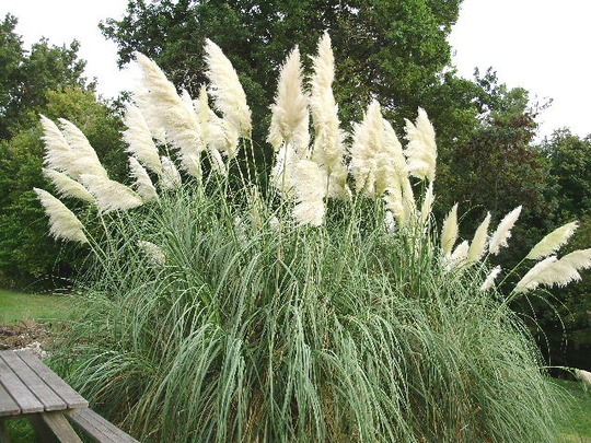 Pampas Grass in October (Cortaderia selloana (Pampas Grass))