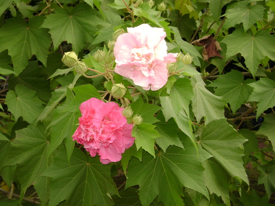 Confederate Rose (Hibiscus mutabilis (Changing Rose))