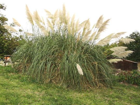 Pampas Grass (Cortaderia selloana (Pampas Grass))