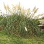 Pampas_grass