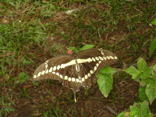 Lantana visitors - giant swallowtail. (Lantana camara (Lantana))