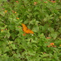 Lantana_butterfly_or_moth