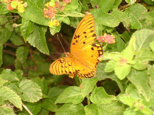 "Lantana Lair for butterflies, ""Gulf Fritillary"" (Lantana camara (Lantana))"