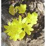 Sternbergia_lutea