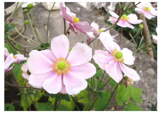 Japanese Anemone (Anemone x hybrida (Japanese anemone))