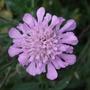 Scabiosa_pink_butterfly_
