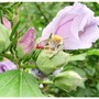 Busy_bee_on_hibiscus