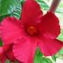Mandevilla Crimson Flower (mandevilla sunmandeho)