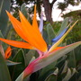 Strelizia reginae - Bird-of-Paradise (Strelizia reginae - Bird-of-Paradise)