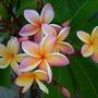 Plumeria rubra 'California Sunset'  (Plumeria rubra 'California Sunset')