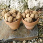 Walnuts Early October (Juglans regia (Walnut))