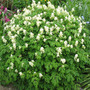 Corydalis_white_